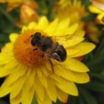 bee-on-the-flower-567107-m