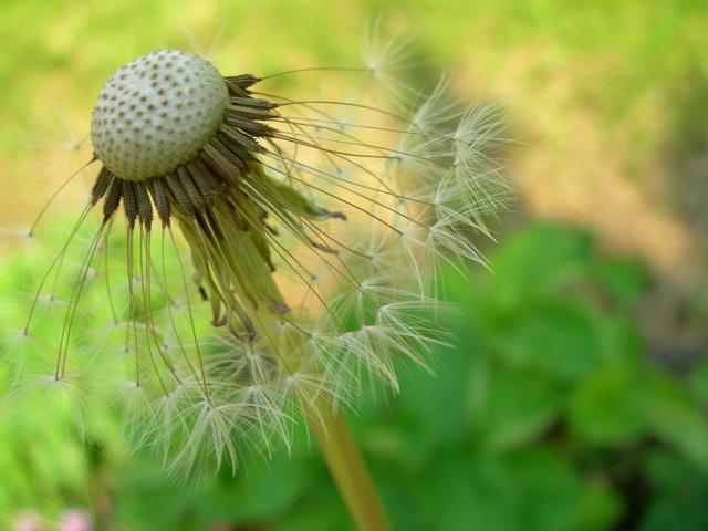 dandilions-weeds-2-1382522-640x480