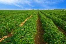 Cassava fields via Shutterstock