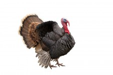 turkey via shutterstock