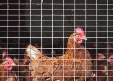 caged chicken via shutterstock