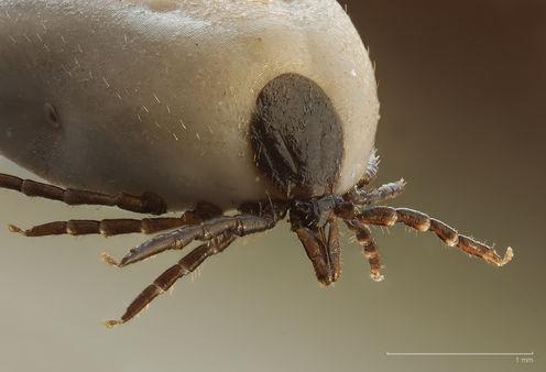 Ixodus ricinus tick. Richard Bartz , CC BY-SA