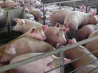 antibiotics FDA hogs