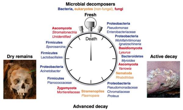 The shifting necrobiome. Credit: Metcalf et al, Curr Biol, 2016.