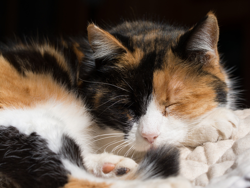 calico cats are a walking genetics lesson american council on